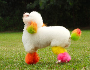 Dyed Mini Poodle