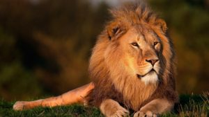 Lions are one of the exotic species treated by wildlife veterinarians.