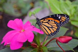 Monarch butterflies are popular for wedding releases.